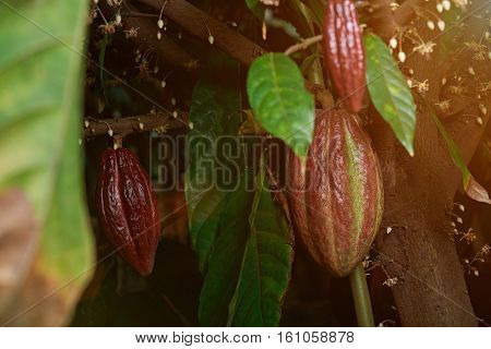 red cacao pods on tree between green leafs and flowers
