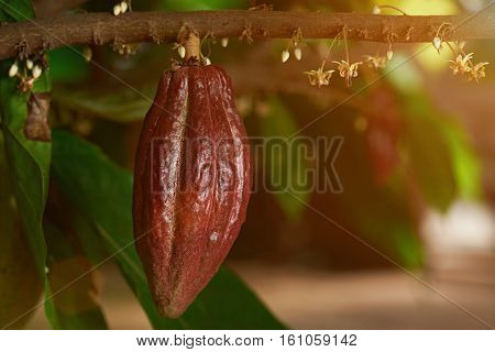 Growing cacao pod on cocoa branch tree farm