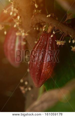 Cacao pod ready for harvest on cacao tree close up