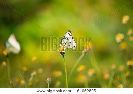 White  butterfly drinks nectar from flowers  in natural