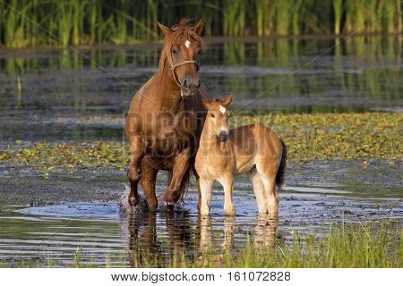 Sorrel mother horse and foal in the pond
