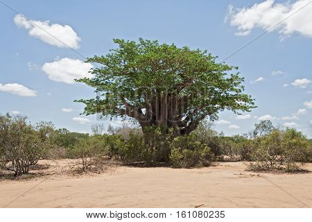 Big baobab tree in the Kruger National Park, South Africa