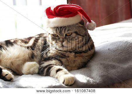 Cat in a suit of Santa Claus / British Shorthair kitten