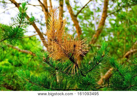 Close up shooting of yellowish and evergreen branches of pine tree