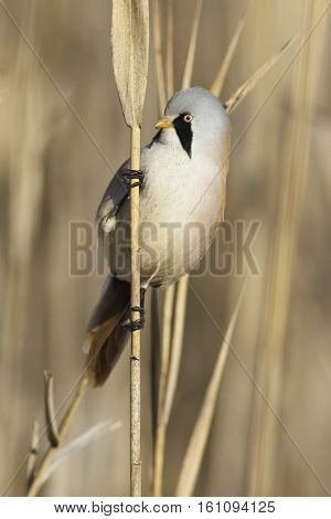 Bearded parrotbill songbird Male Panurus biarmicus in reed