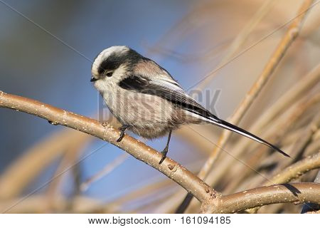 Long tailed Tit Aegithalos caudatus on the branch