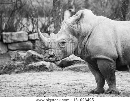 Black Rhinocero, Diceros bicornis, wild, dangerous and endangered african mammal in the ZOO. Black and white image.
