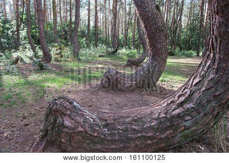 Krzywy Las the crooked forest near Nowe Czarnowo