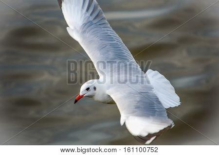 Seagull escape winter living in bangpu Thailand.