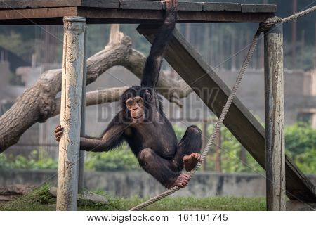 Baby chimpanzee hanging from a wooden plank at a zoo in Kolkata, India. Chimps among all monkey species are considered closest to humans in behavioral traits.