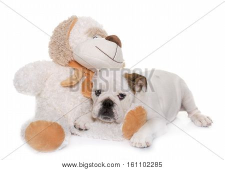 puppy english bulldog and cuddly toy in front of white background