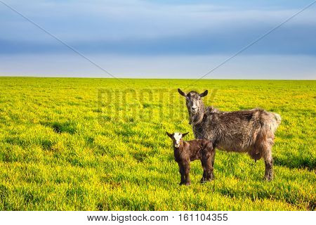 goat and little goat standing on the field