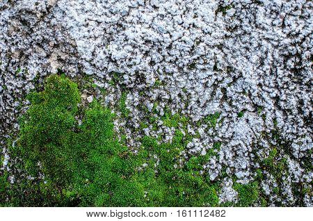Texture of gray plastered overgrown wall with green lichen close up