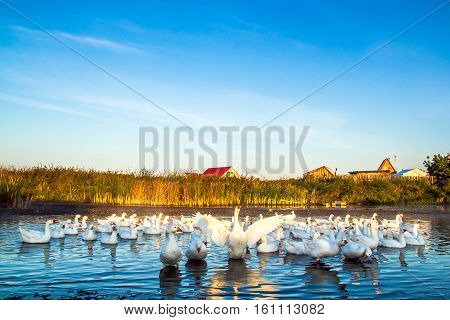 Photo on front view of a flock of geese on the lake in the village