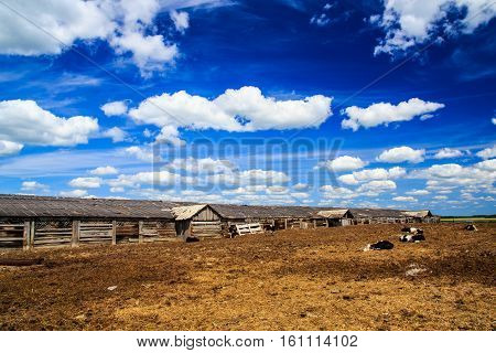 photo of calves in the village on front view and on the background sky