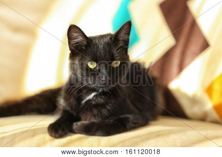 Cute black cat on blurred background, close up view
