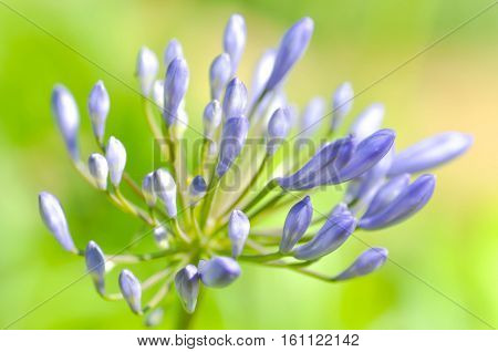 Agapanthus Blue African lily or Lily of nile flower