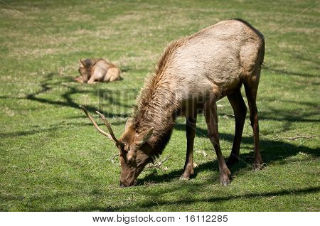 Great Smoky Mountains National Park Elk Wildlife Photography