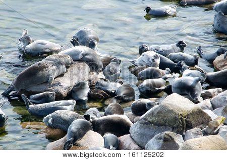 The Baikal seal nerpa bask in the sun