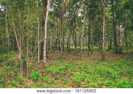 View of rubber plantations in Koh Chang, Thailand. Hevea brasiliensis is one of the most economically important rubber tree. Natural background.