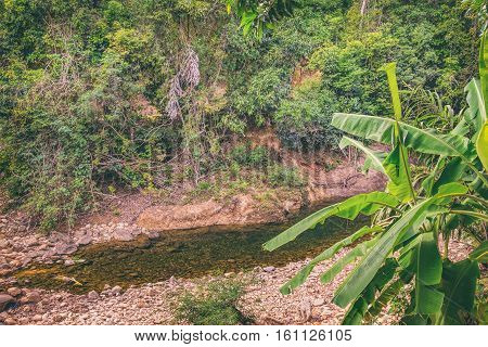 Musa acuminata popular banana tree growing on the bank of a tropical river. Mountain stream with small stones on the bottom, Khao Sok National Park, Surat Thani Province, Thailand. poster