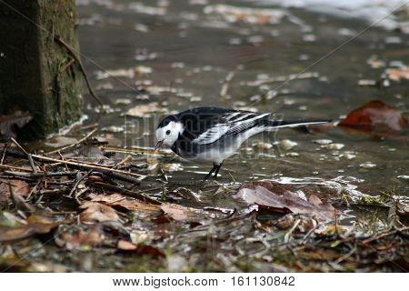 A Pied Wagtail wading in shallow water in search of food