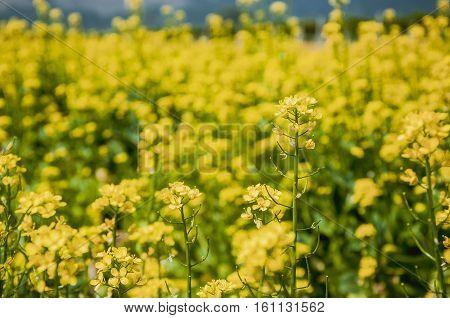 The rape flowers field scenery in spring