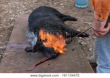 Slaughter burn the pig hair off with a gas burner before butchering poster