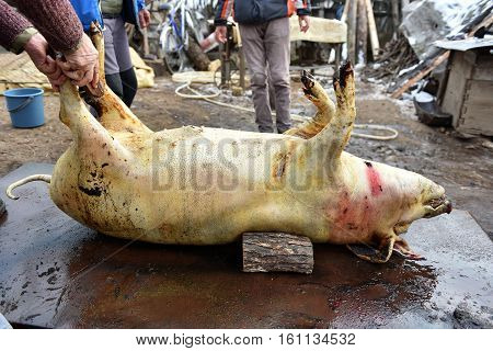 Slaughter Washing The Skin Of The Pig To Remove The Hair