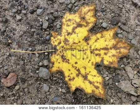 Bright yellow Maple Leaf detailed close up