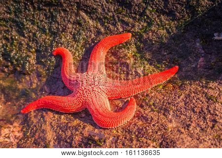 Seastar In Chile
