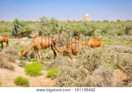 Camels In Merv