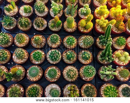 Cactus mini special Prickly in Mini Potted plants .