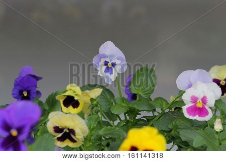 pansy flower : type of large-flowered hybrid plant cultivated as a garden flower.