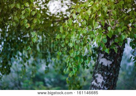 A birch is a thin-leaved deciduous hardwood tree of the genus Betula in the family Betulaceae