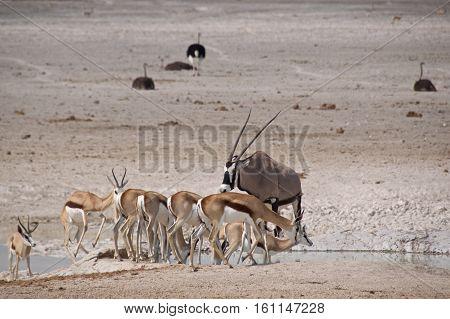 Springboks, gemsboks, and ostriches all gather near the waterhole in Etosha National Park, Namibia