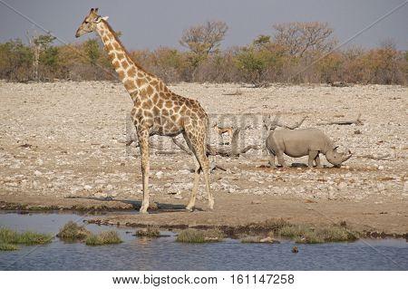 Giraffe with black rhinoceros and springbok at waterhole in Etosha National Park, Namibia