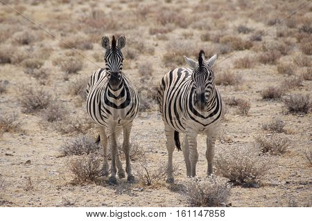 Two best friends of Burchell's zebras in Etosha National Park, Namibia