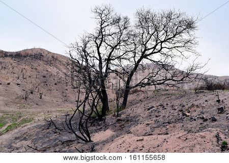 Charcoaled landscape with a lone burnt tree caused from a wildfire taken in the Cajon Pass, CA