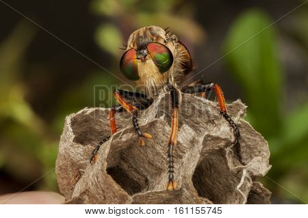 Macro Giant Robberfly  resting in a honeycomb