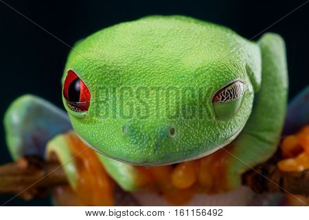 The red-eyed tree frog. Portrait of a winking frog. Red eyes. Beautiful green and blue colors. Exotic animal of rain forest.