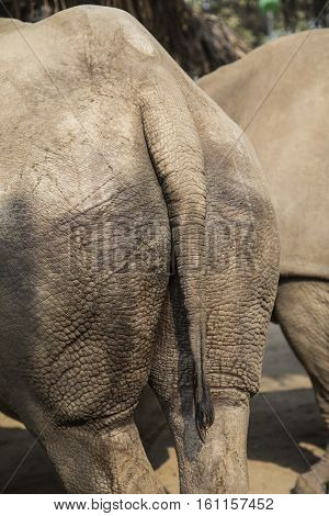 Close up of the tail and hard skin from back of rhino