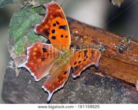 A Question Mark Butterfly (Polygonia interrogationis) feeding on a bait log