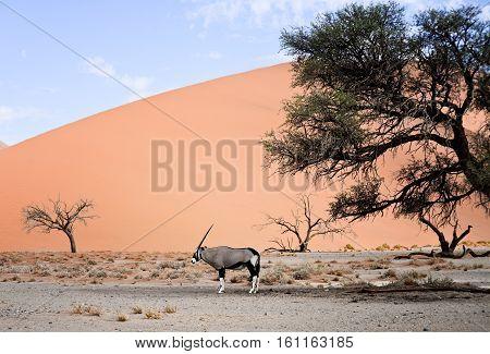 Oryx In Namibia