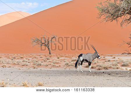 Oryx In Africa