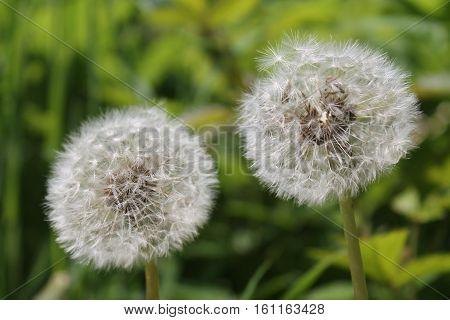 hats flying dandelion in the wind, flower background