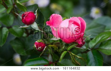 Close view of pink rose blossom outside