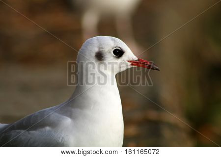 A Black Headed Gull in it's white winter plumage