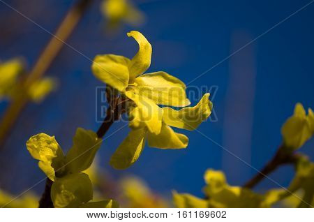 Forsythia yellow spring shrub with wonderful small flowers outdoors