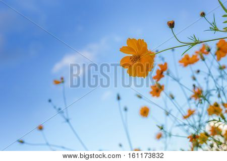 yellow cosmos sulfur cosmos flower with blue sky edited fillter